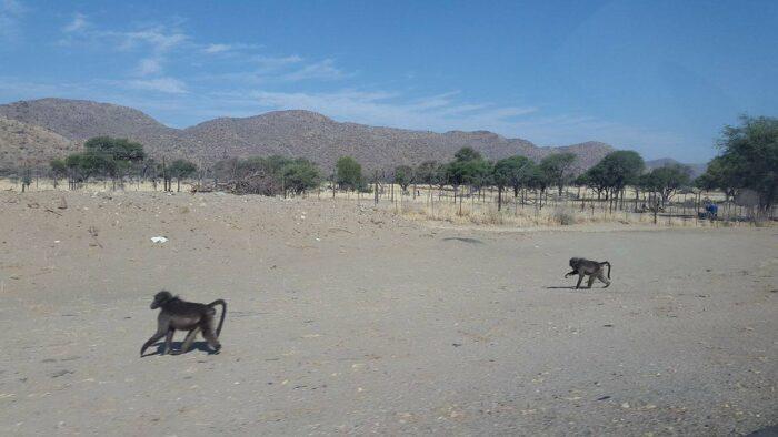 Baboons, Okahandja, Namibia