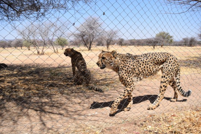 Cheetah Conservation Fund, Cheetah Feeding, Otjiwarongo, Namibia