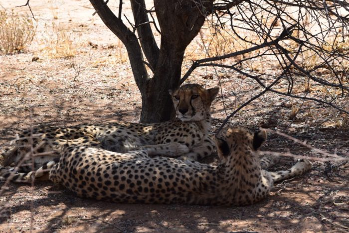Cheetah Conservation Fund, Cheetah Drive, Otjiwarongo, Namibia