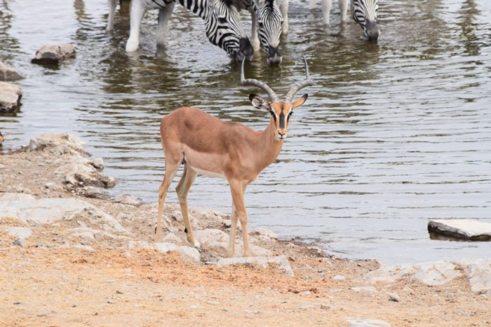 Black-faced impala, Etosha National Park, Namibia