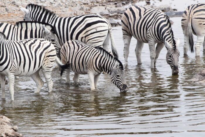Plains zebras, Etosha National Park, Namibia
