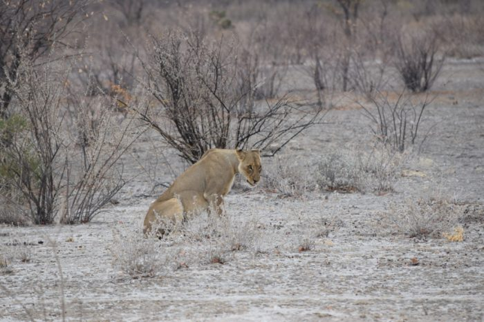 Female African Lion, Etosha National Park, Namibia