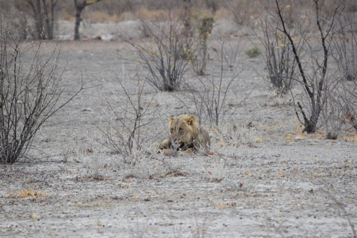 Male African Lion, Etosha National Park, Namibia