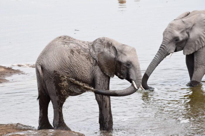 African bush elephant, Etosha National Park, Namibia