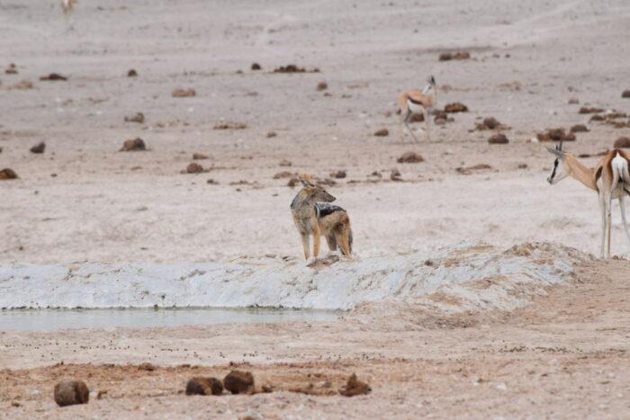 Jackal, Etosha National Park, Namibia