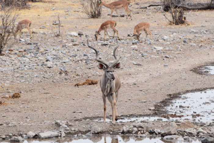 Greater kudu, Etosha National Park, Namibia