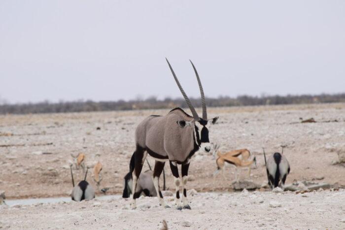 Oryx, Gemsbok, Etosha National Park, Namibia