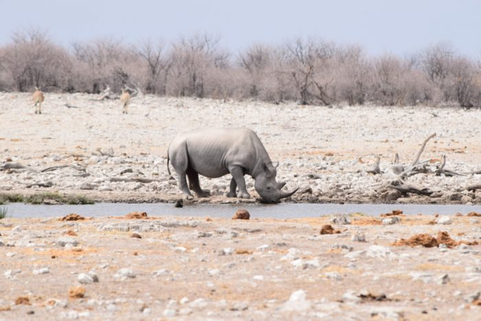 Southern white rhinoceros, Etosha National Park, Namibia