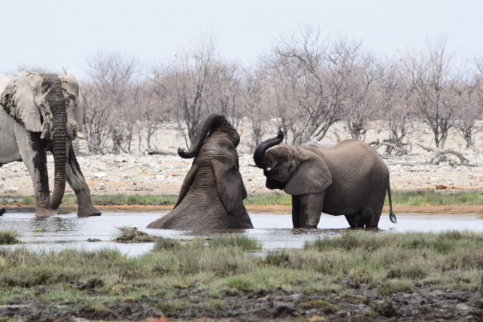 African bush elephants, Etosha National Park, Namibia