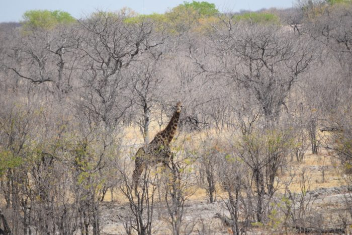 Angolan giraffe, Etosha National Park, Namibia