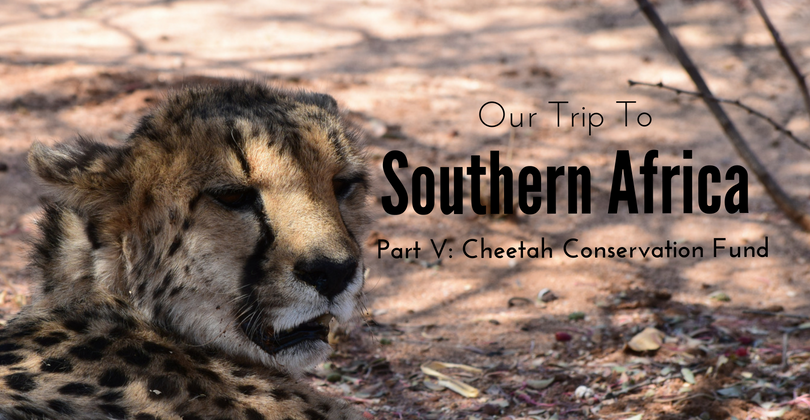 Cheetah Conservation Fund, CCF, Otjiwarongo, Namibia