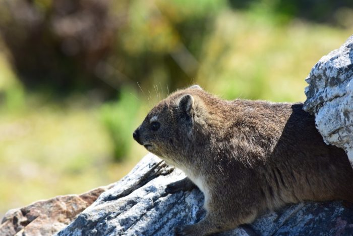 Rock Hyrax, Hermanus, South Africa