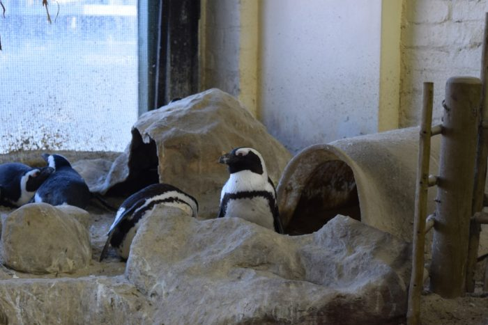 African penguin, Two Oceans Aquarium, Cape Town, South Africa