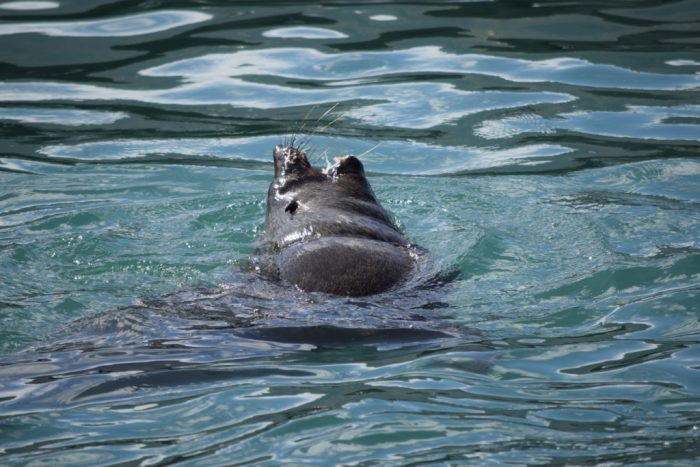 Seal, Mariners Wharf, Hout Bay, Cape Town, South Africa