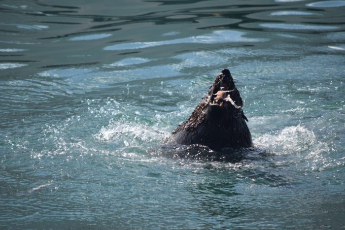 Seal Feeding, Mariners Wharf, Hout Bay, Cape Town, South Africa