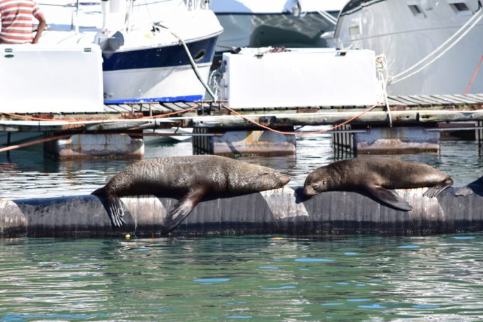 Seals, Mariners Wharf, Hout Bay, Cape Town, South Africa