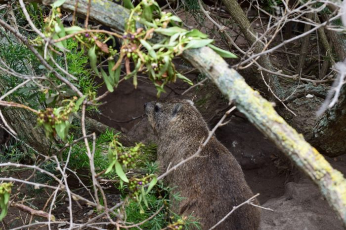 Rock Hyrax, Boulders Beach, Simon's Town, South Africa