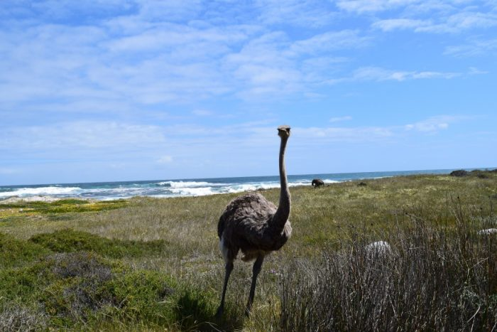 Ostrich, Cape Point, Cape of Good Hope, South Africa