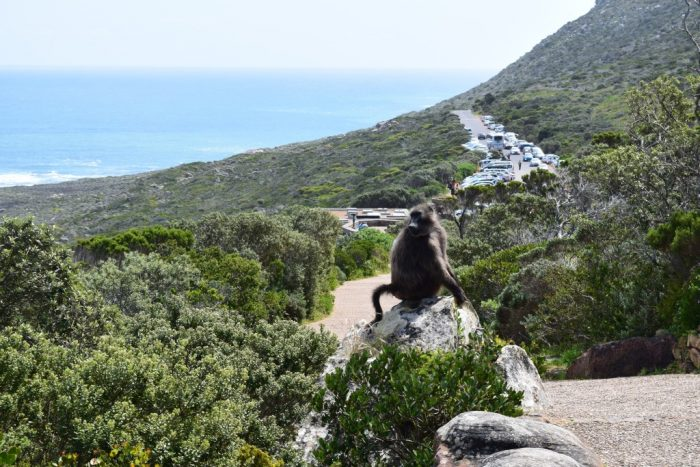 Chacma Baboon, Cape Point, Tour, Cape Town, South Africa
