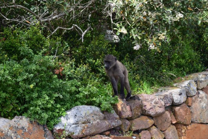 Chacma Baboon, Cape Point, South Africa, Babianer, Syd Africa