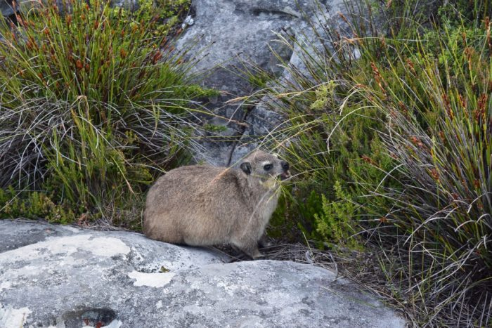 Rock Hyrax, Klipdassie, Klipphyrax, Procavia capensis, Kalliotamaani, Table Mountain, Cape Town, South Africa