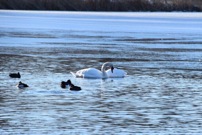 Swan, Svan, Råstasjön, Solna, Stockholm, Sweden