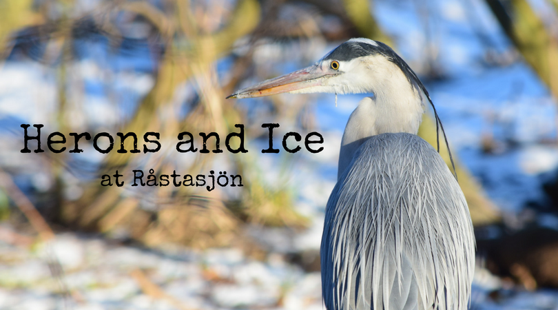 Herons and Ice at Råstasjön in Solna, Sweden