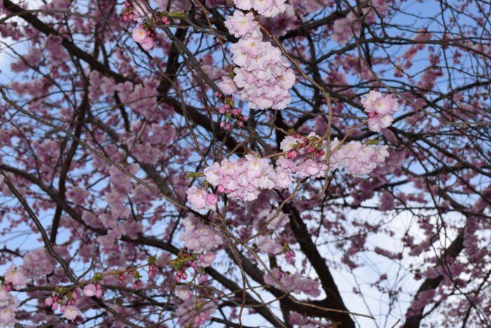 Kungsträdgården, Stockholm, Sweden, Cherry Blossoms