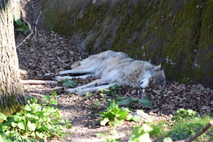 Wolf, Varg, Skansen, Djurgården, Stockholm, Sweden
