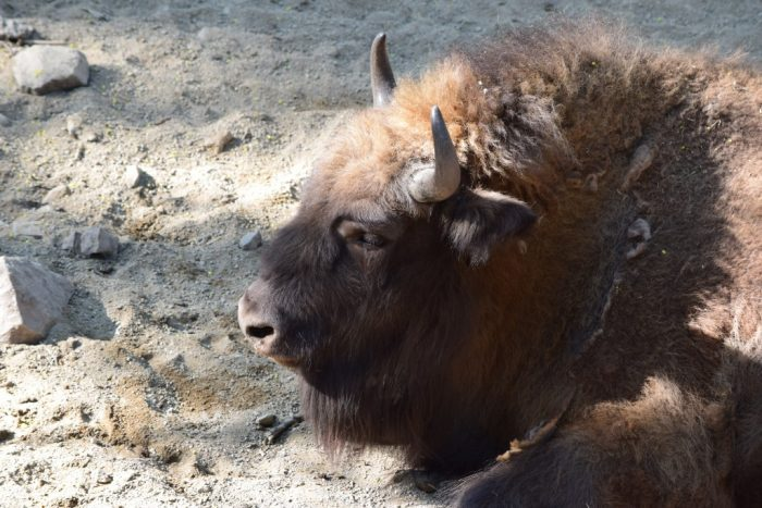 Visent, European bison, Skansen, Djurgården, Stockholm, Sweden