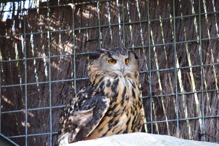 Berguv, Eurasian eagle-owl, Skansen, Djurgården, Stockholm, Sweden