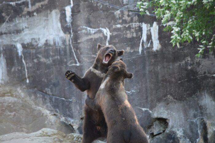 Björn, Bear, Skansen, Djurgården, Stockholm, Sweden