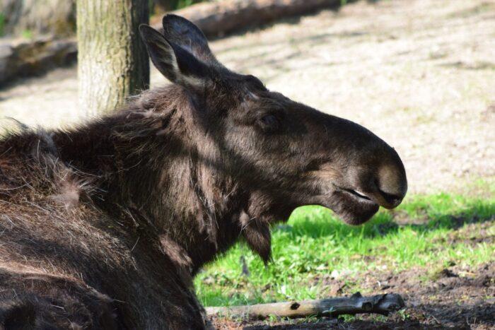 Älg, Elk, Moose, Skansen, Djurgården, Stockholm, Sweden
