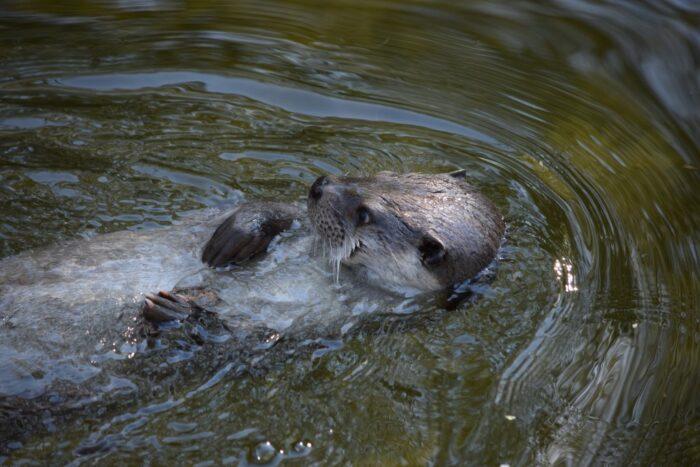 Otter, Utter, Skansen, Djurgården, Stockholm, Sweden