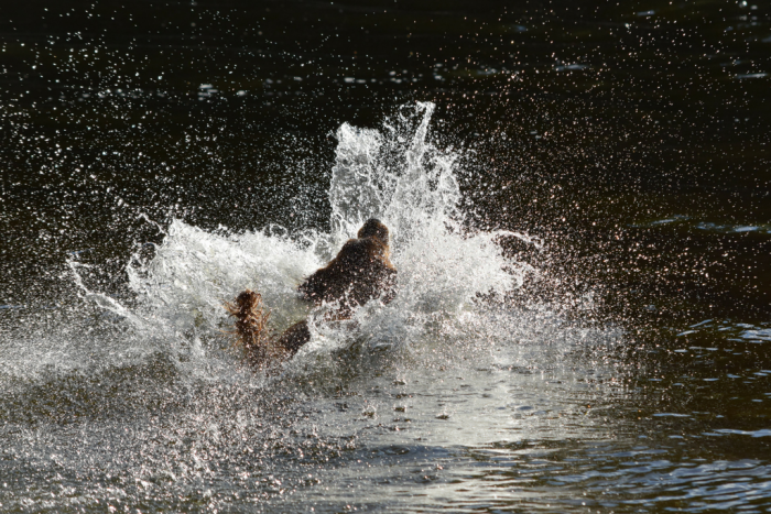 Golden Retriever, Trixie, Vagnhärad, Lake Sörsjön, Sweden